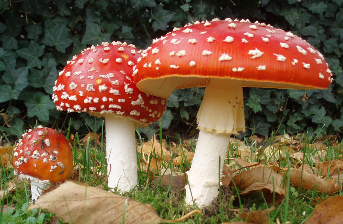The mushroom Amanita muscaria is known to have hallucinogenic properties. Image: Wikipedia Commons