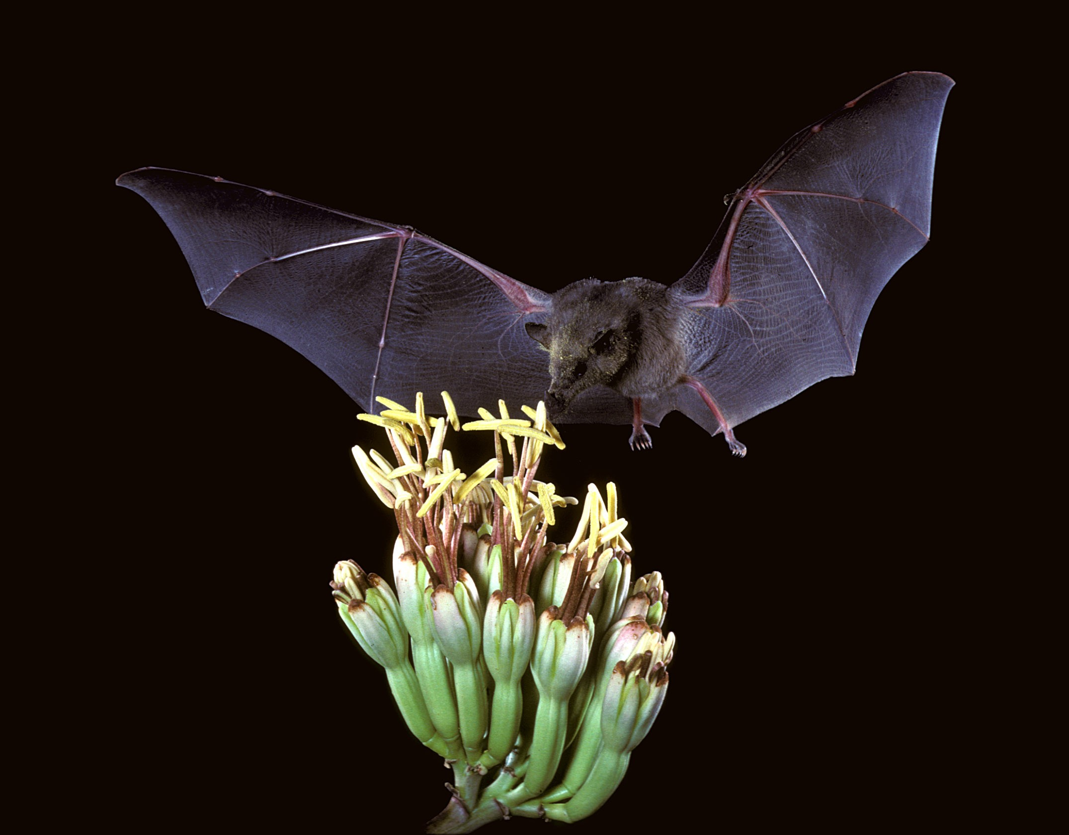 Mexican long-tongued bat (Choeronycteris mexicana) drinking from a cactus. Image: USFWS